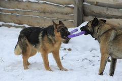 Two German Shepherds with toy Stock Photography