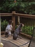 Two German Shorthaired Pointers Royalty Free Stock Image