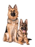 Two german shpherd dogs Royalty Free Stock Photos