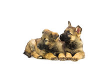 Two Germany sheep-dog puppies Stock Image