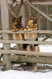 Two Germany Sheep-dogs Stock Image