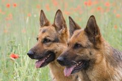 Two Germany shepherds Stock Images