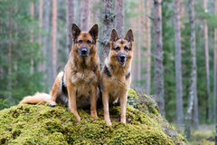 Two Germany shepherds Royalty Free Stock Photo