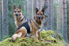 Two Germany shepherds Stock Image