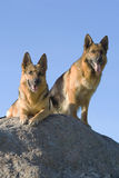 Two Germany shepherds Royalty Free Stock Photos