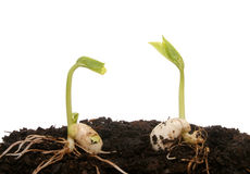 Two Germinating Seeds Royalty Free Stock Photo