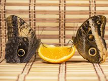 Two giant owl butterflies feed on orange fruit isolated on white background stock photos