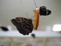 Two giant owl butterflies, the forest one Caligo eurilochus, and the yellow-edged one Caligo atreus, are feeding on a slice of an