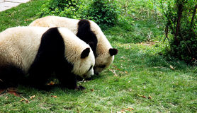 Two giant panda Royalty Free Stock Image