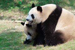 Two Giant Panda playing Stock Photos