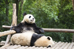 Two giant pandas bear in the zoo. Chengdu China Stock Image