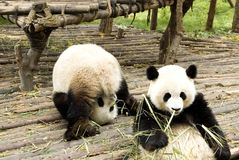 Two giant pandas bears Royalty Free Stock Image