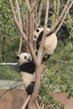 Two giant pandas cubs playing on the tree. Photo taken in Chengdu, China Royalty Free Stock Photography