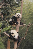 Two giant pandas cubs resting on the tree. Photo taken in Chengdu, China Royalty Free Stock Photo