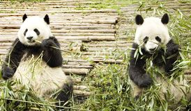 Two giant pandas feeding stock images