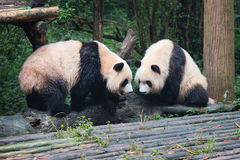 Two giant pandas looking at each other Royalty Free Stock Images