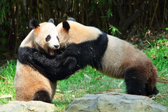 Two giant Pandas playing Royalty Free Stock Image
