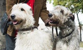 Two Giant schnauzer dogs Stock Photos