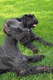 Two Giant Schnauzers Laying in the Grass Stock Images