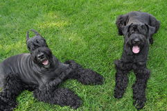Two Giant Schnauzers Laying in the Grass Royalty Free Stock Photos