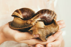 Two giant snails on human hands Royalty Free Stock Photography