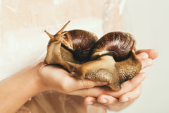 Two giant snails with shells in human hands Royalty Free Stock Photo