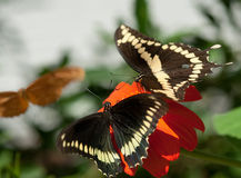 Two Giant Swallowtail (Papilio cresphontes) Stock Photos