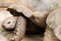 Two giant tortoises Stock Image
