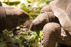 Two giant tortoises Stock Photo