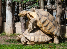 Two Giant Tortoises Royalty Free Stock Image