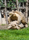 Two Giant Tortoises Stock Photo