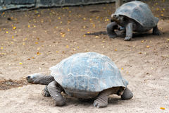 Two Giant Tortoises Royalty Free Stock Images