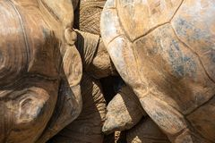 Two large turtles during the courtship period, top view. Two giant turtles during the courtship period, top view stock photography