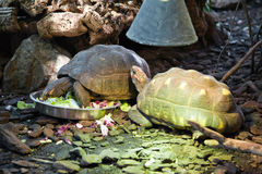 Two Giant Turtles Eating Stock Photo