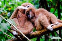 Two gibbon Royalty Free Stock Photos