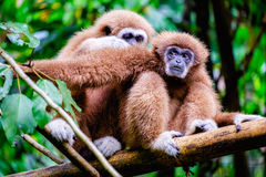 Two gibbon Stock Image