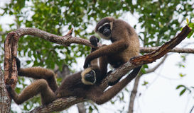 Two Gibbon sitting on the tree. Indonesia. The island of Kalimantan Borneo. Stock Photo
