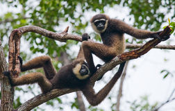 Two Gibbon sitting on the tree. Indonesia. The island of Kalimantan Borneo. Royalty Free Stock Photo