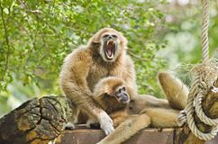 Two Gibbon. Stock Images