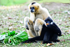 Two gibbon in zoo Stock Images