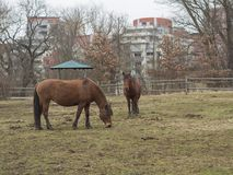 Two ginger brown horses eating straw on meadow in late winter mi. Sty day in Prague park, bare treea and new rental houses in background Stock Images