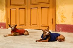 Two ginger dogs in colorful sweaters are resting near to yellow house. Royalty Free Stock Image