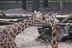 Two Girafes Royalty Free Stock Images