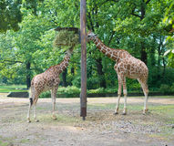 Two girafes Stock Photography