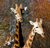 Two Giraff`s Giraffa Royalty Free Stock Images