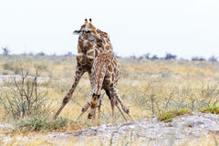 Two Giraffa camelopardalis near waterhole Royalty Free Stock Image