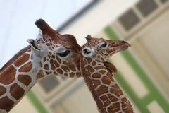 Two giraffe Stock Image