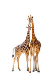 Two giraffe royalty free stock images