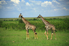 Two giraffe. Strolling across Masai Mara National Reserve Kenya Africa Stock Photo
