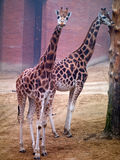 Two giraffe Royalty Free Stock Image